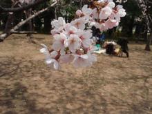 他人の花見桜 008