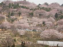 種松桜 013