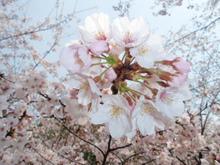 下から桜 010
