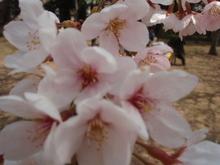 接写桜 007